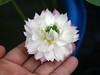 Nelumbo nucifera 'Fen Ling Long 13' Lotus Wahgarden 009 (Klong15 Waterlily) Tags: lotus lotusflower flower pond lotusland landscape smalllotus chineselotus thailandlotus garden wahgarden