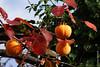 Plaqueminier (arbre à kaki) près de Brione s/ Minusio (Ticino) (29/10/2017 -19) (Cary Greisch) Tags: brionesopraminusio che carygreisch diospyroskaki kaki kakibaum plaqueminier switzerland ticino