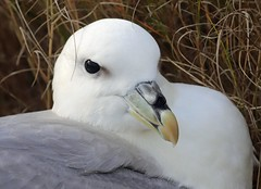 Northern Fulmar, Found in salt marsh, Nauset (petertrull) Tags: elements