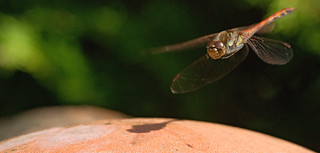 Dragonfly on approach