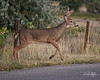 Young Buck Jumps Fence - 19 of 19 (dcstep) Tags: greenwoodvillage fence jumpfence dsc9320dxo cherrycreekstatepark colorado usa buck bigbuck deer whitetaildeer sonya9 sony ilce9 g master 100400mm f4556 all rights reserved copyright 2017 david c stephens dxo optics pro 1142 prime noise reduction natureurban urban nature