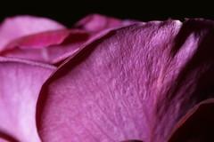 _DSC2866 (wdeck) Tags: meingarten roses rosen rose blüte sony sonya700 minolta100aff28macro