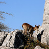Capra Pyrenaica, Torcal de Antequera (pom.angers) Tags: canoneos400ddigital 2017 april spain andalusia europeanunion animal caprapyrenaica torcaldeantequera spanishibex 100 150 200 wildanimal 300 5000