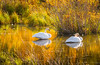Gros Ventre Trumpeter Swanns. (popago) Tags: swanns waterfowl grosventre wyoming gold wildlife water grass bird animal wildlifephotography jacksonhole autumn backcountry tetons