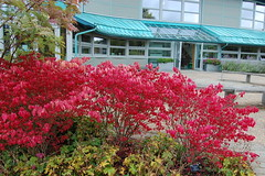 Library (basswulf) Tags: euonymus euonymusalatus compactus red library d40 1855mmf3556g lenstagged unmodified 32 image:ratio=32 permissions:licence=c 20170918 201709 3008x2000 rhs harlowcarr rhsharlowcarr harrogate northyorkshire england uk