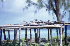 Turnstones stealing dried fish from tables (Mary Gillham Archive Project) Tags: 91622 aldabra arenaria bird landscape seychelles turnstone water 1970 februaryapril1970