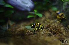 YELLOW_BANDED_OCEANARIO _LISBOA (Dendrobates leucomelas) (paulomarquesfotografia) Tags: paulo marques pentax k5 chinon 55mm f14 yellow banded oceanario lisboa dendrobates leucomelas macro bokeh rã sapo colors cores lisbon aquario aquarium