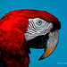 Digital+Color+Ink+Drawing+of+a+Red+and+Blue+Macaw+by+Charles+W.+Bailey%2C+Jr.