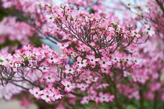 DSC02419 (diane.cotton92) Tags: dogwood cornus tree garden pink lensbaby