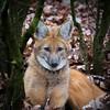 DSC_6733 (Bianca Wolfsteiner) Tags: 20151216 tiergartennürnberg mähnenwolf