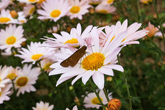 Skipper butterfly on Mums - Anderson S.C.