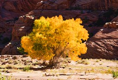 AUTUMN IS A SECOND SPRING WHEN EVERY LEAF IS A FLOWER (Irene2727) Tags: tree cottonwood cottonwoodtree nature leaves yellow autumn fall canyon canyondechelly chinle arizona landscape scape panorama pano