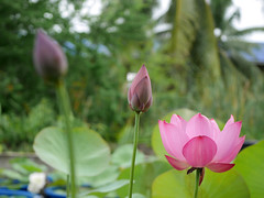 Sacred Lotus 'Chinese Red Xibeipo' Wahgarden Klong15 001 (Klong15 Waterlily) Tags: chinared lotus lotusflower flower sacredlotus thailotus nelumbo nelumbonucifera pond
