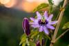Passiflora (hploeckl) Tags: diaplan passiflora meyeroptik