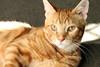 Cornell (Doctor Beef) Tags: cornell bowie kitten kittens