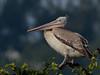 Spot-billed pelican (A_K_B) Tags: spotbilled pelican grey india south spot billed nikon 200500mm d7000 lake bangalore