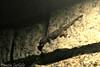 Flat-tailed House Gecko (tinlight7) Tags: taxonomy:kingdom=animalia animalia taxonomy:phylum=chordata chordata taxonomy:subphylum=vertebrata vertebrata taxonomy:class=reptilia reptilia taxonomy:order=squamata squamata taxonomy:suborder=sauria sauria taxonomy:infraorder=gekkota gekkota taxonomy:family=gekkonidae gekkonidae taxonomy:genus=hemidactylus hemidactylus taxonomy:species=platyurus taxonomy:binomial=hemidactylusplatyurus lagartixadomésticadecaudachata flattailedhousegecko hemidactylusplatyurus saumschwanzhausgecko thailändischerhausgecko hemidactyleàqueueplate gewöhnlicherhaftzeher taxonomy:common=lagartixadomésticadecaudachata taxonomy:common=flattailedhousegecko taxonomy:common=saumschwanzhausgecko taxonomy:common=thailändischerhausgecko taxonomy:common=hemidactyleàqueueplate taxonomy:common=gewöhnlicherhaftzeher inaturalist:observation=8529734 gecko housegecko reptile lizard nocturnal vietnam