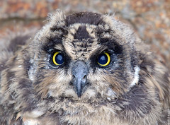 Short-eared Owl (Brandugla) 63 (sindri_skulason) Tags: shortearedowl brandugla