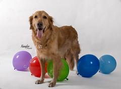 Celebrate (Rainfire Photography) Tags: dog birthday party balloons 10 happy portrait goldenretriever rainfirephotography nikon