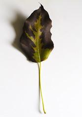 The key to trees (explored) (Sina Farhat) Tags: light ljus nyckel fotosondag fs170924 leaf löv autumn fall höst tree träd artistic konstärlig desk skrivbord gothenborg göteborg sweden sverige 031 bokeh skärpedjup canon 50d canon50mm14usm raw photoshopcc