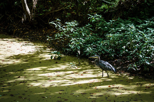 Blue Herron Stands in the Swampy Patowmack Canal