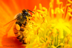 It's bee time!! (ImagesByLin) Tags: poppies poppy spring springtime bees flower flowers macro bee pollen
