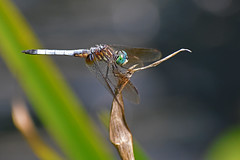 Dragonfly (BMADHudson) Tags: dragonfly bug insect macro sharp details nature wildlife georgia botanical naturecenter