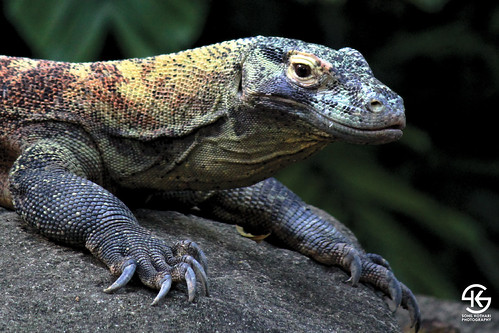 Komodo Dragon - Close up
