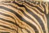 Burchell's zebra individual striping pattern, near Salvadora Waterhole, Etosha National Park, Namibia (Ulrich Münstermann) Tags: africa afrika burchellszebra etoshanationalpark ferien metazoa namibia oshikotoregion plainszebra reise salvadorawaterhole tiere animal animalia animalsanimalia art chordata chordates commonzebra culture dieren equusburchellii equusquagga equusquaggaburchellii game gamedrive holiday mammalia mammalsmammalia pattern quagga reizen safari stripes travel vakantie wildlife zebra