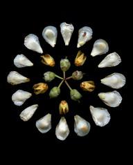 58601.01 Stewartia pseudocamellia (horticultural art) Tags: horticulturalart stewartiapseudocamellia stewartia mandala circle
