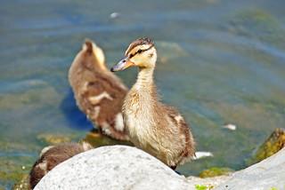 Mallard Duckling 17-0604-4240