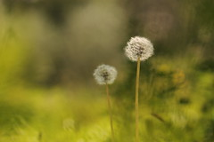 2 (SimonaPolp) Tags: dandelions september fall bokeh flowers nature macro light day