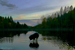 Gone fishing, I hope for a trout 🐋 (evakongshavn) Tags: lake water waterscape reflection reflections waterreflection sunsets sunset landscape 7dwf sky tree wood animal forest serene grass