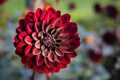 Dahlia (PhredKH) Tags: green dahlia flower macro bright photosbyphredkh phredkh fredkh splendid 50mm canonphotography outdoorphotography canon eos ef50mmf18stm canoneos5dmarkiii capelmanor gardens