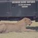 Young lion under land rover. Ngorongoro