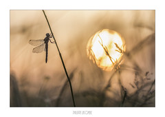 dragonfly sunset (philippeLacombe) Tags: 2015 proxy arpajonsurcère auvergne france fr
