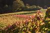 Vine (leaving-the-moon) Tags: 2017 201710 autumn colors farben goodlight herbst kraichgau natur nature season wein weinberg