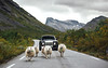 Sheep Escort. (Alex Penfold) Tags: rolls royce sweptail sheep supercars supercar super car cars autos alex penfold 2017 norway luxury animals