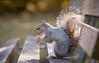 Eat the nuts you need to grow // Mangia le noci che devi crescere (Christian Papagni | Photography) Tags: legnano lombardia italia it scoiattolo bosco castello canon eos 7d mark ii ef100mm f28l macro is usm squirrel