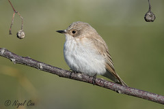 Spotted Flycatcher (NikonNigel) Tags: copyrightâ©nigelcox copyrights
