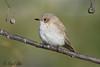 Spotted Flycatcher (NikonNigel) Tags: copyrightâ©nigelcox copyrights