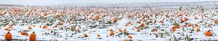 Snow Pumpkins