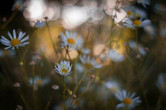 Matinee (ursulamller900) Tags: daisy white golden sunrise sonnenaufgang pentacon2829 bokeh flower blume autumn herbst