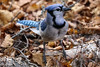 Bluejay (Sue D Sharpe) Tags: bluejay noisy brash flashy begging algonquinpark ontario