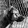 Daryl21Oct201747-Edit.jpg (fredstrobel) Tags: dogs pawsatanta phototype atlanta blackandwhite usa animals ga pets places pawsdogs decatur georgia unitedstates us