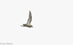 Buff-breasted sandpiper /Prärielöpare (Calidris subruficollis (Hans Olofsson) Tags: bird fågel natur nature prärielöpare vadare birdfågel waders öland flight flyckbild calidrissubruficollis buffbreastedsandpiper ottenby