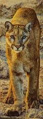 Mountain lion art by ? (JoelDeluxe) Tags: arizonasonora desert museum tucson az joeldeluxe cacti heat plants wildlife zoo botanical garden minerals displays gardens birds
