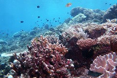 Coral reefs in Raja Ampat (Cape Kri) (sarah.handebeaux) Tags: raja ampat coral reef tropical paradise cape kri indonesia diving sponge