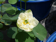 Nelumbo nucifera 'Huang Mu Dan' Lotus Klong15 005 (Klong15 Waterlily) Tags: huangmudan sacredlotus flower lotusflower thailotus nelumbo nucifera nelumbonucifera yellowlotus