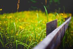 Grün & Gelb (janmalteb) Tags: gelb yellow green grün gras grass zaun fence wood holz pflanzen plants bokeh gräser weeds focus canon eos 1000d 50mm deutschland germany prerow weststrand